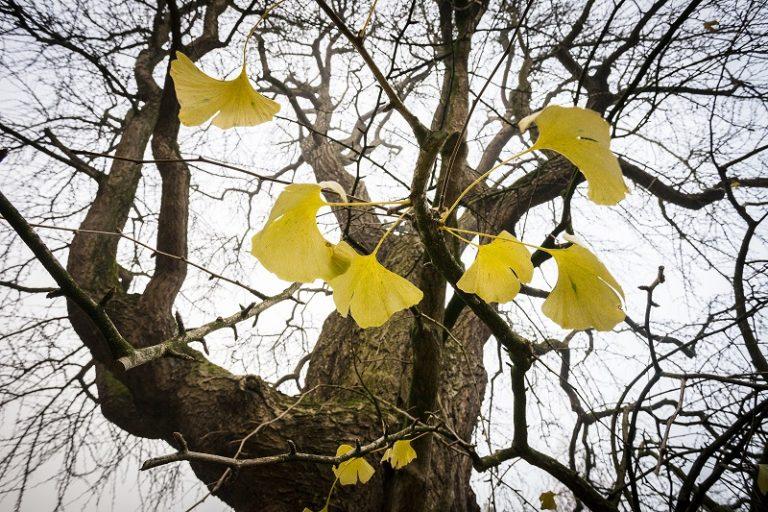 Gekke ginkgo laat na een koude nacht zijn goudgele bladeren vallen