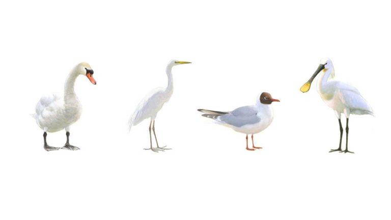 Beginnende vogelaar? Check dan deze handige vogelgids