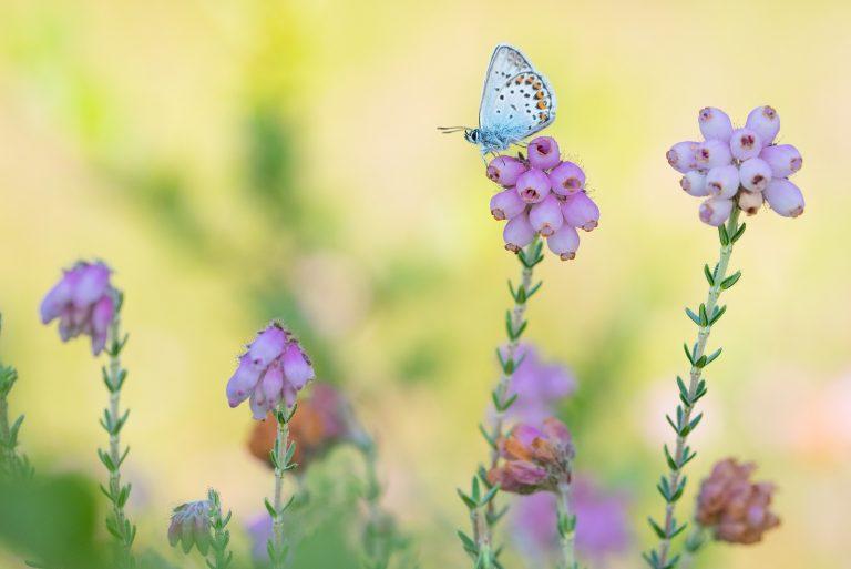 Nieuw: vlinderwandeling langs de Ruiten Aa in Westerwolde