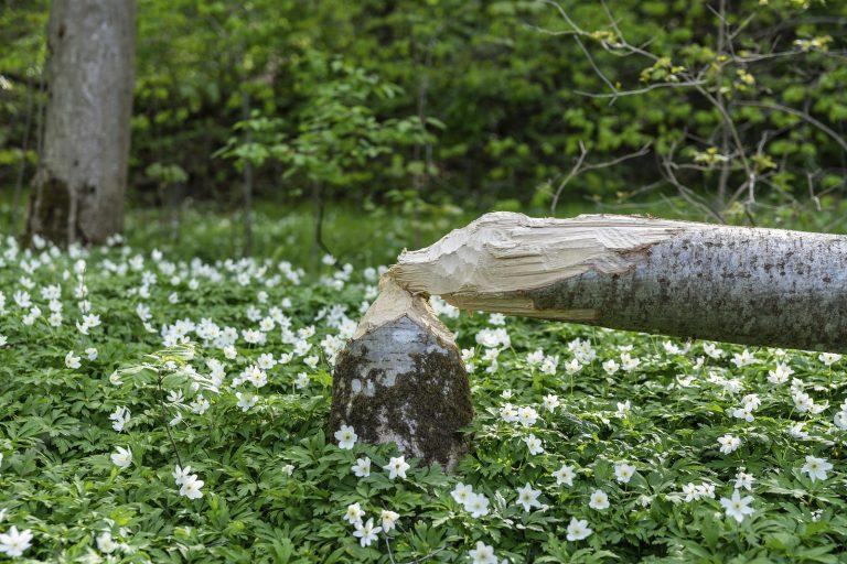 Tuinmysteries: een bever in je tuin als je lang niet maait