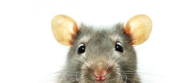 10 verrassende talenten van de rat