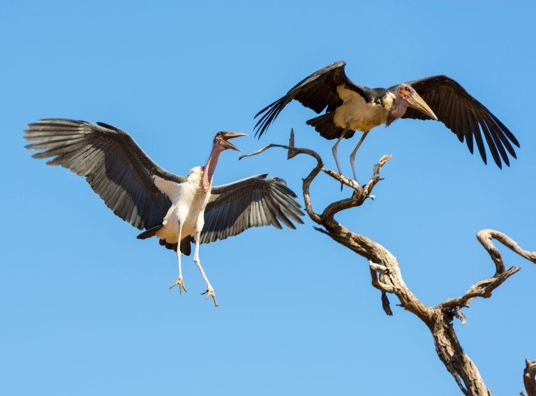 Top 10 vogels met de grootste spanwijdte