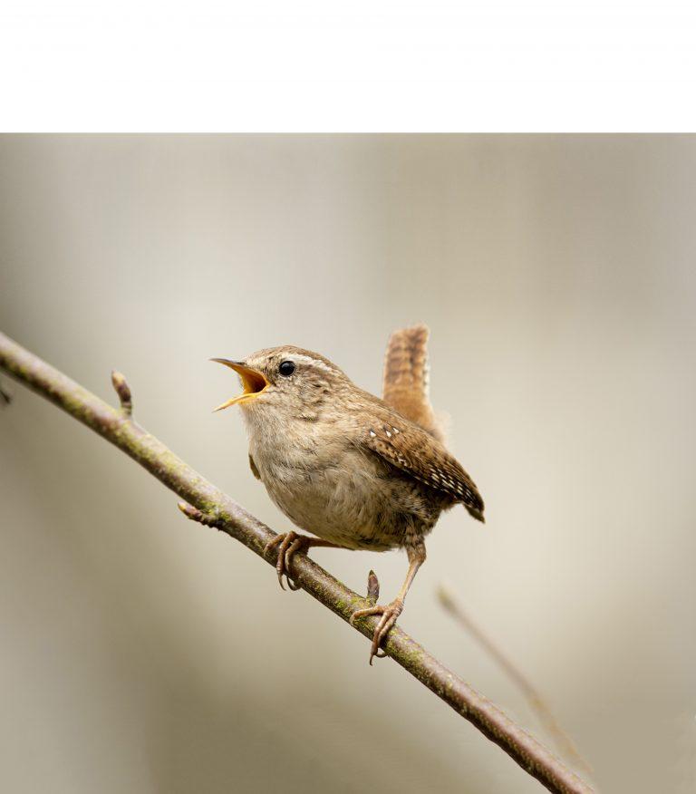 Nationale Tuinvogeltelling op 29, 30 en 31 januari