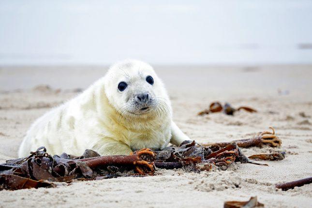 Pup van grijze zeehond op het strand