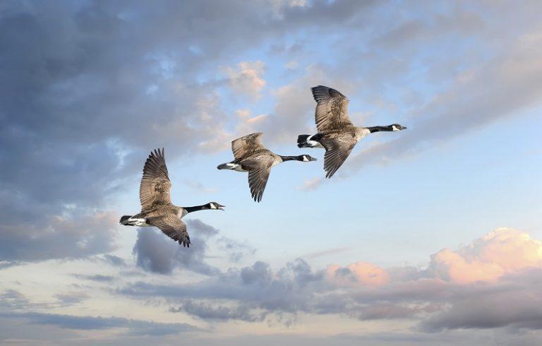 Dit zijn in Nederland de 5 hotspots van de Canadese gans