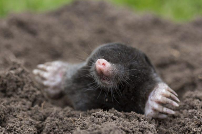 Hoe vindt een mol onder de grond zijn weg?