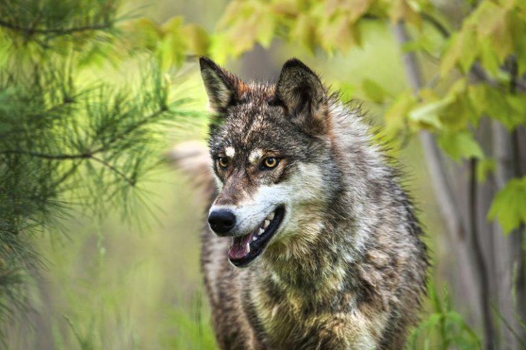 Geboren: jonge wolfjes én een podcast over wolven