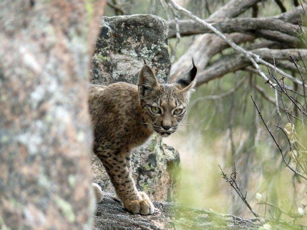 Het gaat beter met de Iberische lynx!