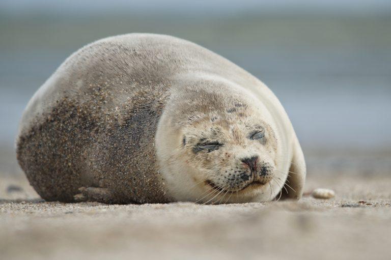 Wat een vraag: slapen zeehonden ook in het water?