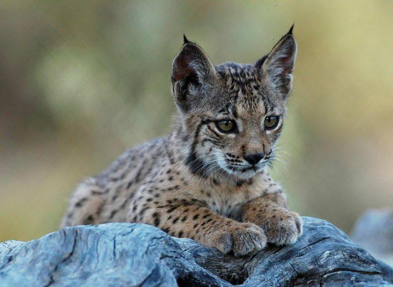 De uitzetting van een Iberische lynx
