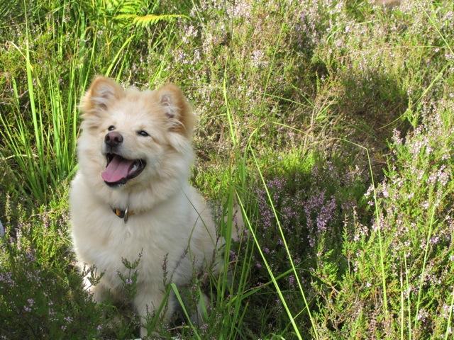 Gelukkig! Ook vlakbij mijn huis in de Vogezen zijn nog reepjes heide te vinden, ook hond Mikkeli is er blij mee!