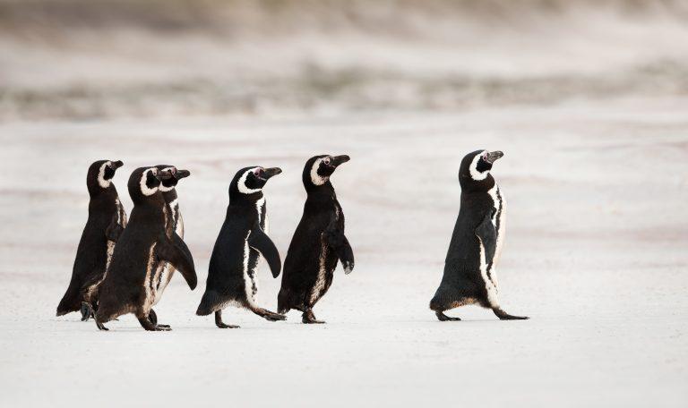 Verdwalende vrouwtjespinguïns – en meer ontdekkingen van 2019