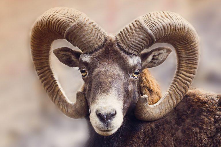 Wat een vraag: waarom hebben herten en schapen horizontale pupillen?