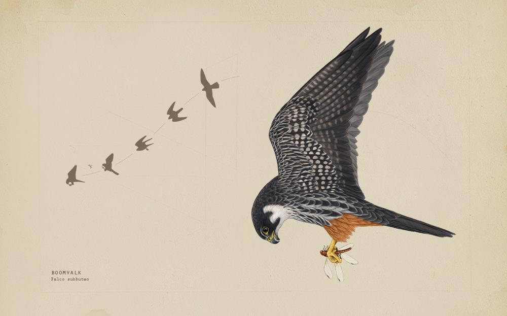 Jagende boomvalk Illustratie Joris De Raedt