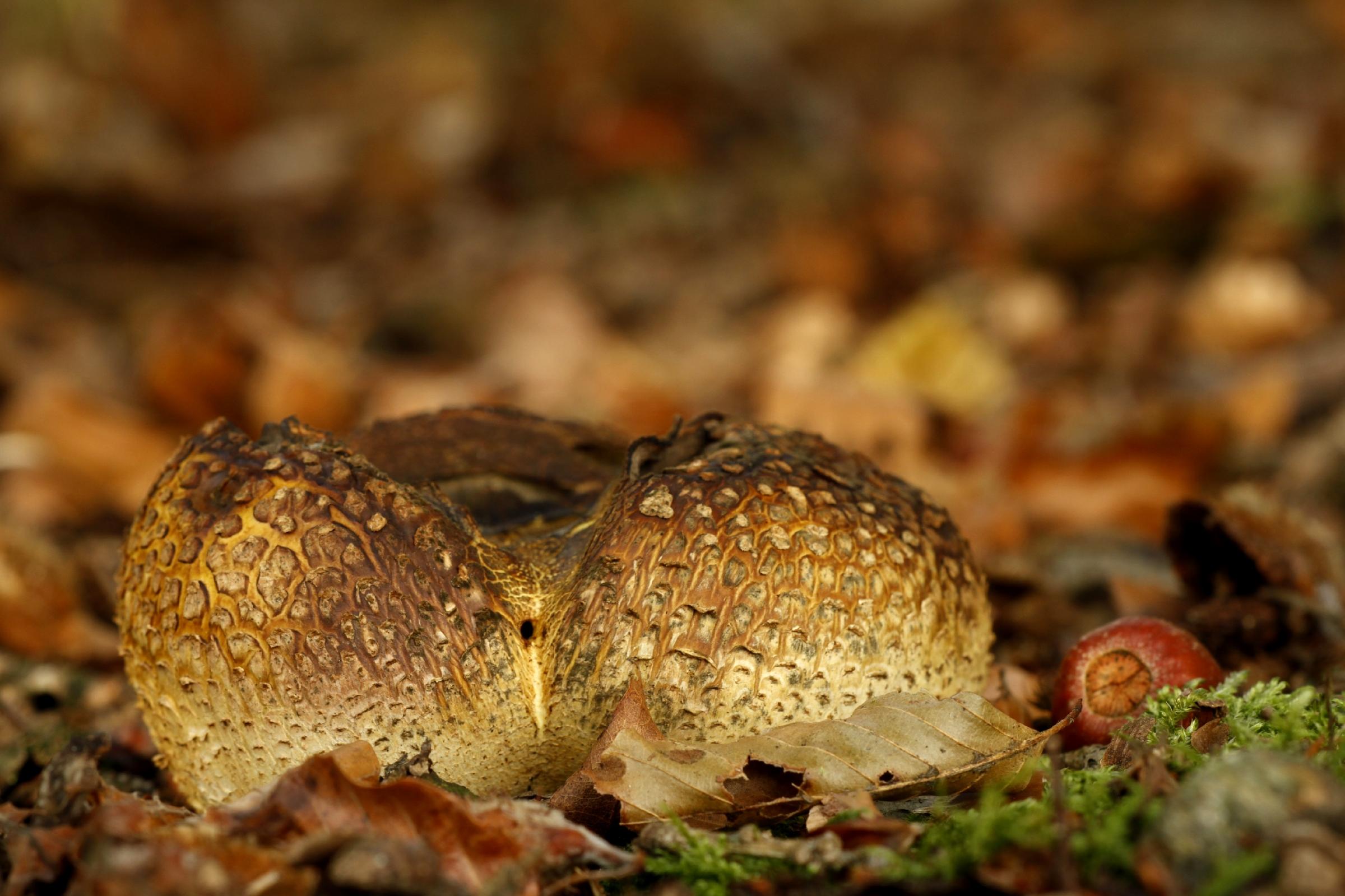 Gele aardappelbovisten houden van humusrijke zandbodems. (foto: Jan Huijbers).
