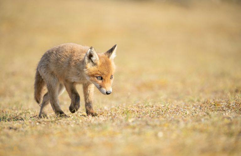 Jong vosje aan de wandel