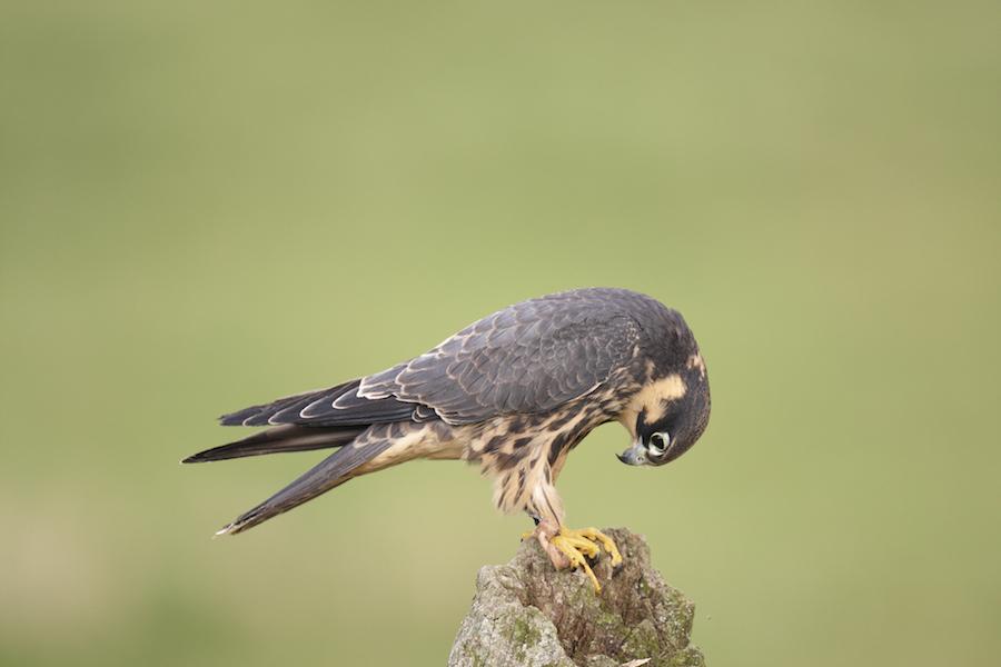 A captive hobby Falco Subbuteo on a fence post.