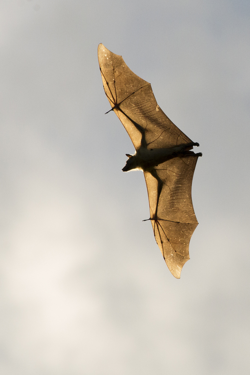 One out of ten million straw-coloured fruitbats