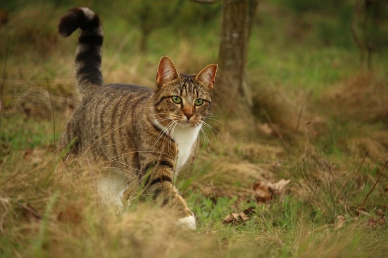 De huiskat: een spinnende jager