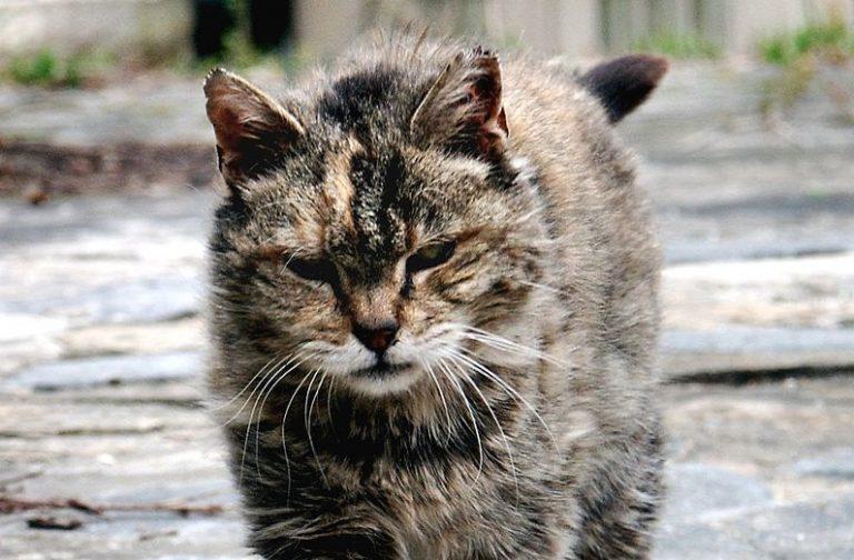 Overlast van katten in Australië