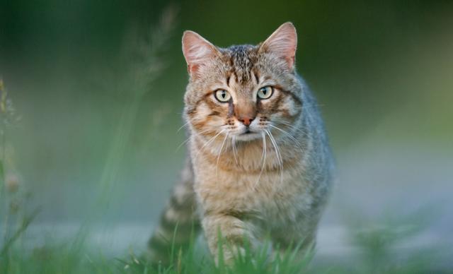 De wilde kat, gezien of niet?