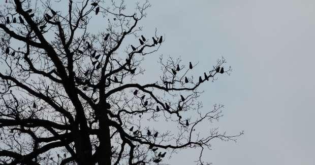 Luidruchtige kauwenslaapplaats in de winter