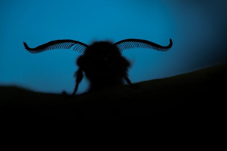 Hoe kunnen nachtvlinders vliegen zonder zich op te warmen in de zon?