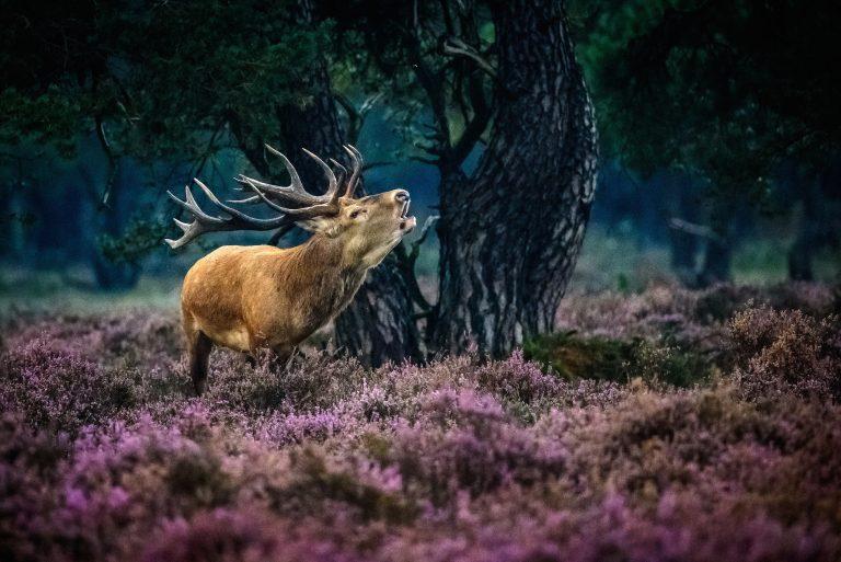 Het verhaal achter de winnende foto: een burlend edelhert