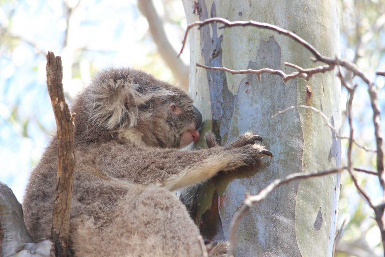 Nu ontdekt: wilde koala's drinken wél – ze likken vers regenwater van bomen