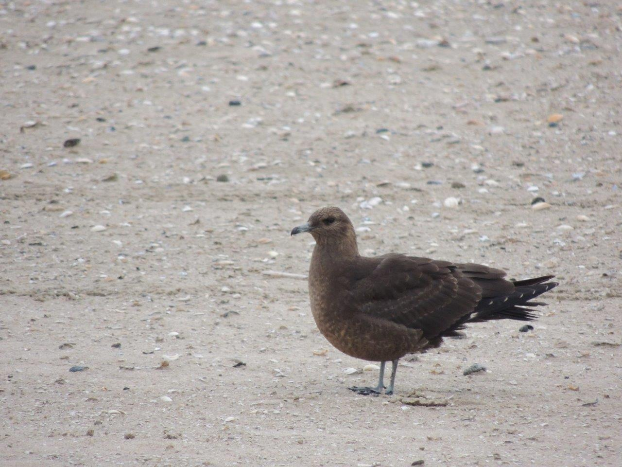 Kleine jager op het strand Paul Bohre