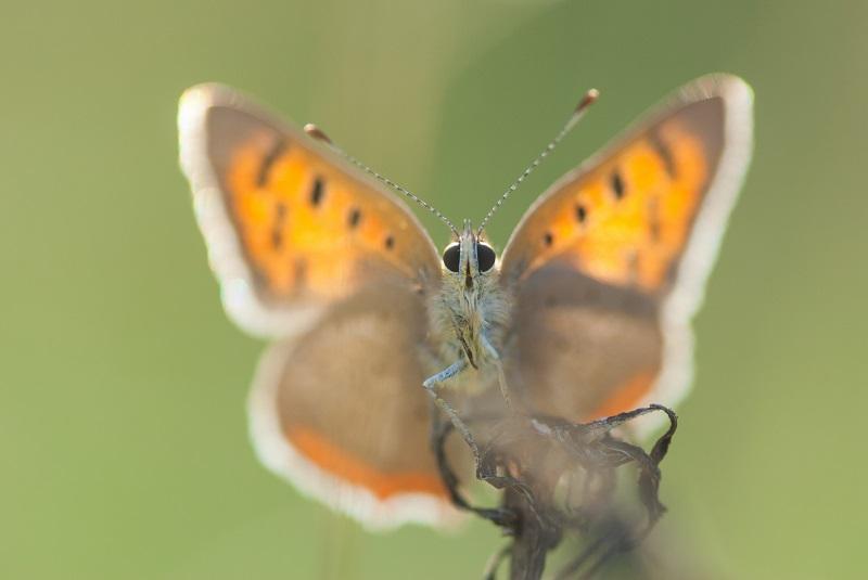Nieuwe wandelroute: vlinderen langs de Ruiten Aa