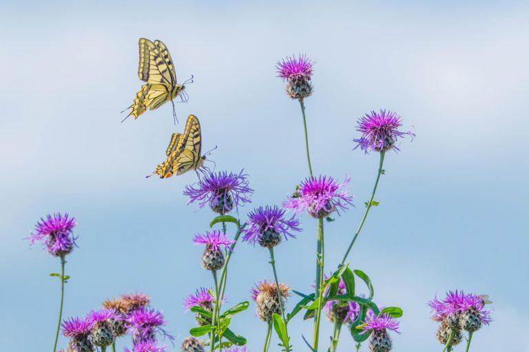 Comeback van de koninginnenpage – vorstelijke (grote) vlinder