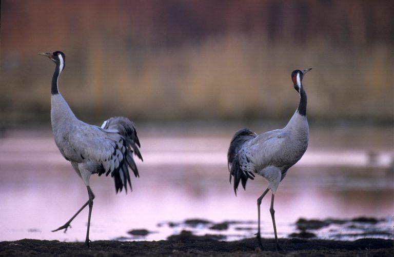 Topervaring: kraanvogels kijken