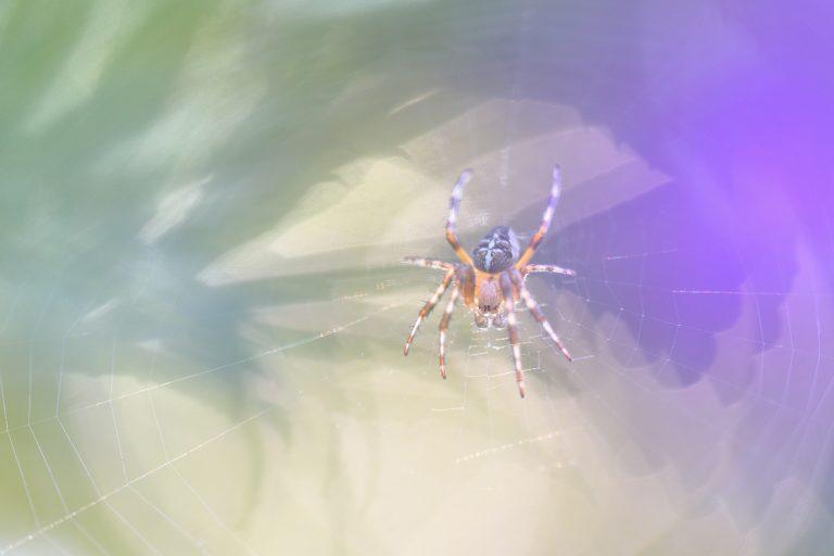 Hoelang doet een kruisspin over het maken van een web?