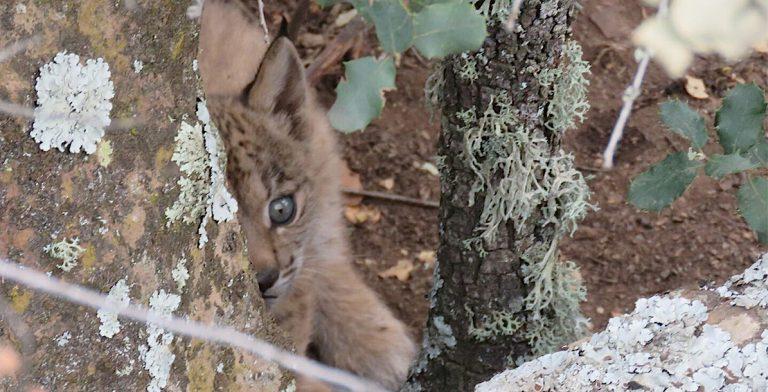 Goed nieuws: welpjes geboren bij Iberische lynx