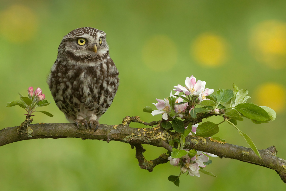 steenuil; little owl; Chevêche d 'Anthéna; Steinkauz ; athene no