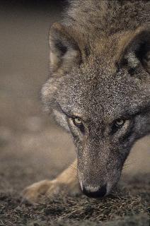 Welkom wolf!