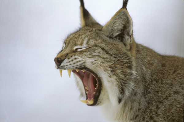 Na de wolf, de lynx?