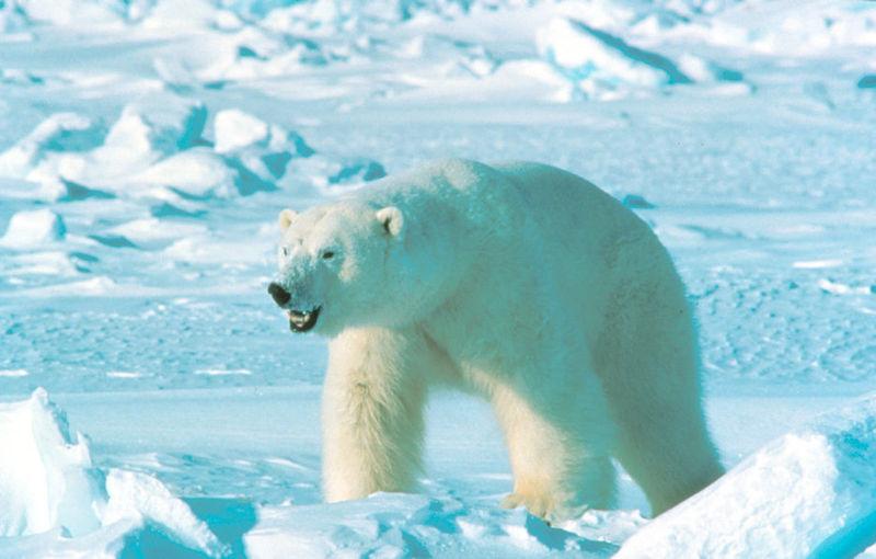 De ijsbeer als vriend en vijand