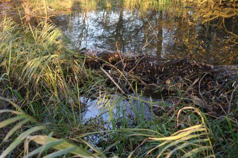 Grootste beverdam van Gelderland