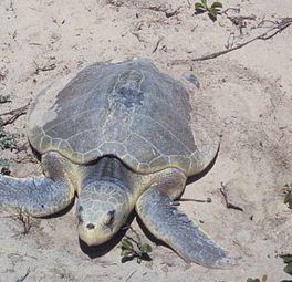 Zeldzaam schildpadje aangespoeld
