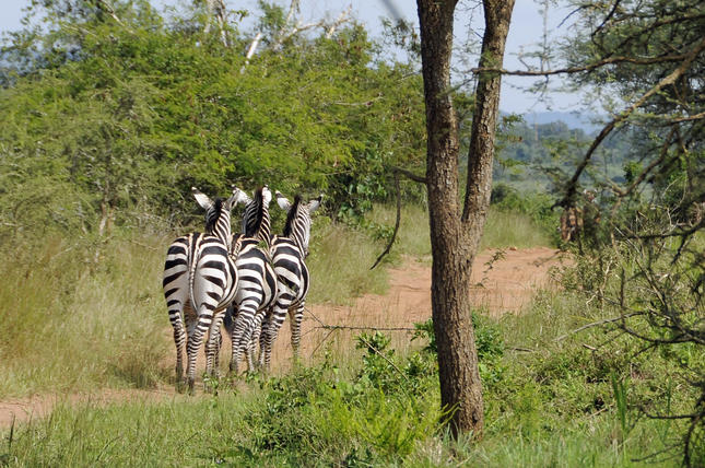 Waarom de zebra's strepen hebben