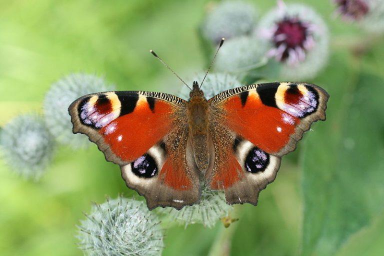 De resultaten van het vlindertelweekend