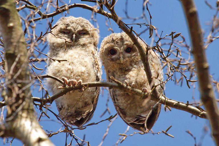 Roofvogels en uilen in De Wieden