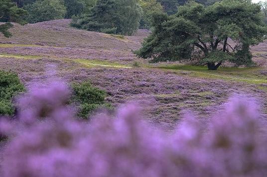 Heide gedijt prima bij een beetje rommelen