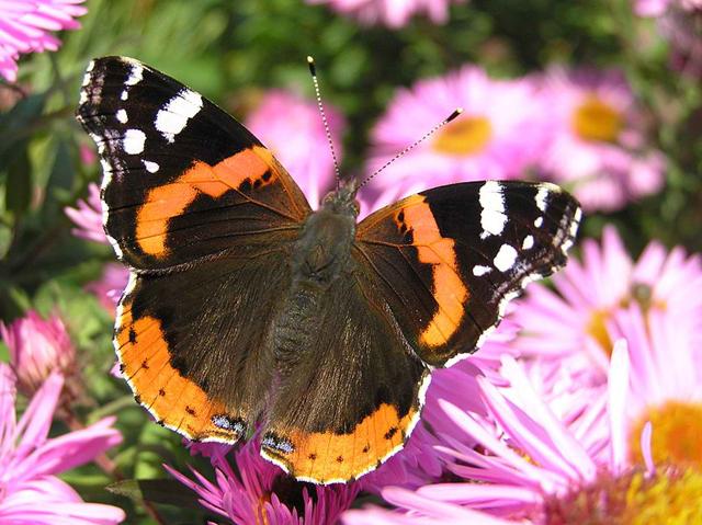 De vlinders trekken weer