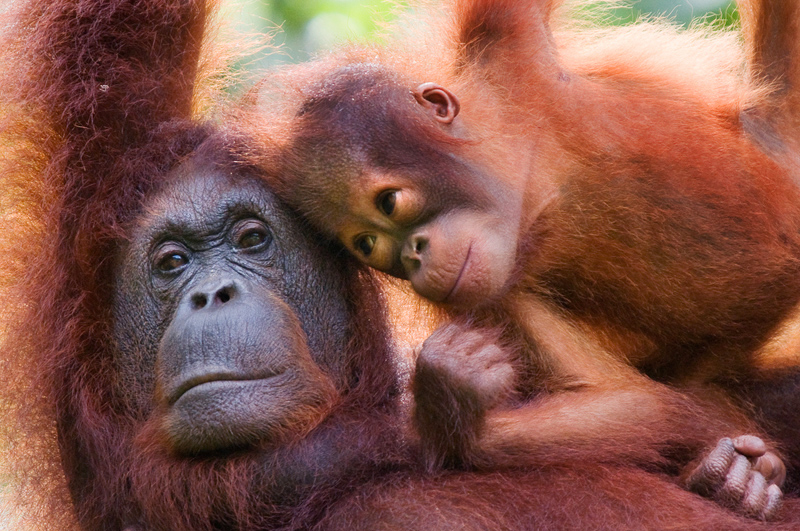 Orang utan; Pongo pygmaeus; Sarawak; Borneo; Malaysia; Endangered; Semengoh Nature reserve; Sarawak; Borneo; Malaysia; mother and young;