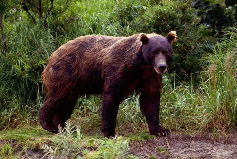 Russen schieten ruim 100 'vreemde' beren dood