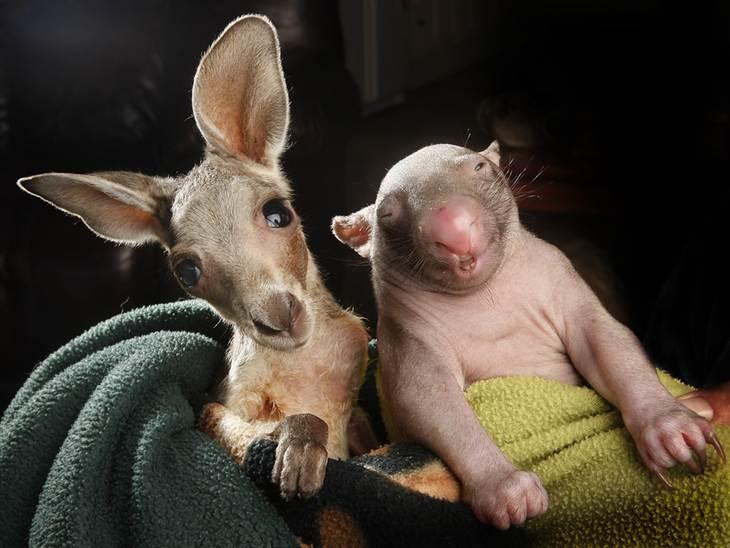 Unieke vriendschap tussen kangoeroe en wombat