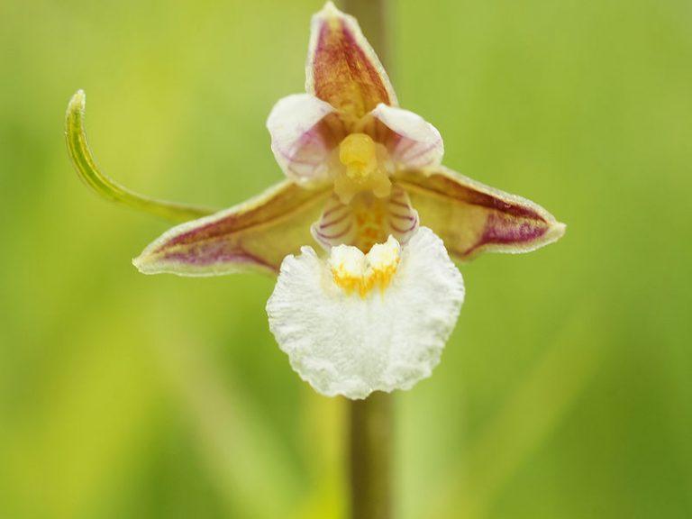 De wilde orchidee heeft het moeilijk
